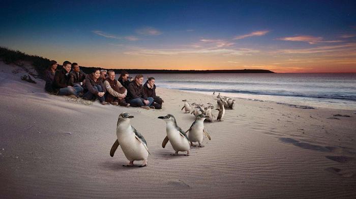 【澳大利亚墨尔本旅游】墨尔本旅游景点推荐 - 企鹅岛|熊猫速汇 PandaRemit